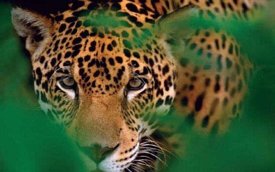 tren maya amlo podria afectar poblacion de jaguares mexico 1
