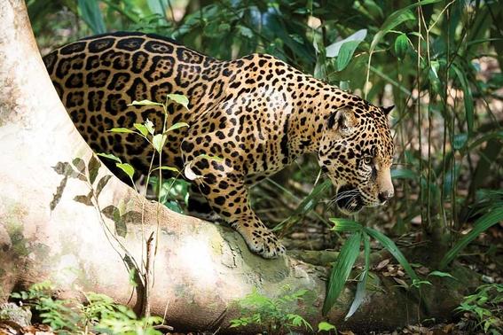 tren maya amlo podria afectar poblacion de jaguares mexico 2