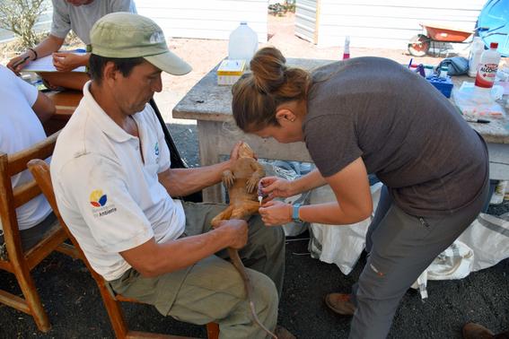 introducen miles iguanas terrestres a isla santiago de galapagos 1