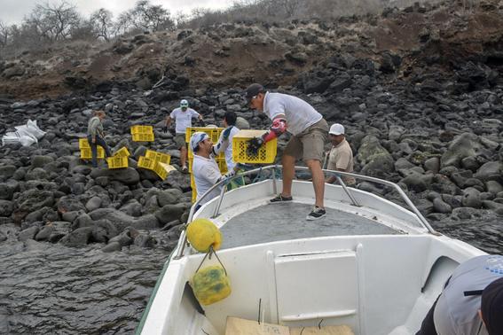 introducen miles iguanas terrestres a isla santiago de galapagos 2