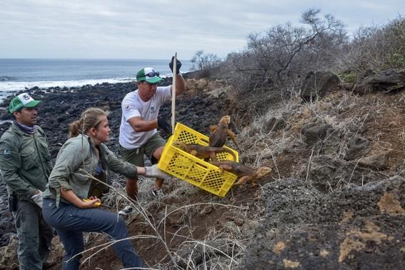 introducen miles iguanas terrestres a isla santiago de galapagos 3