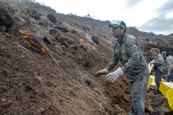 introducen miles iguanas terrestres a isla santiago de galapagos 4