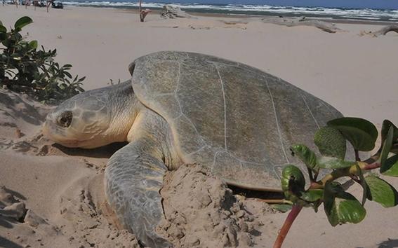 ipn mexico analiza adn de tortugas lora para evitar su extincion 1