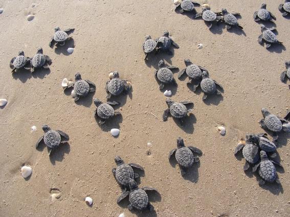 ipn mexico analiza adn de tortugas lora para evitar su extincion 2