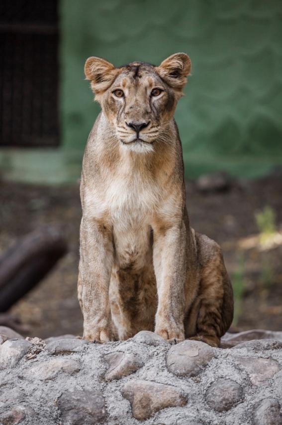 inseminan artificialmente a leona ginni para salvar especie en extincion 1