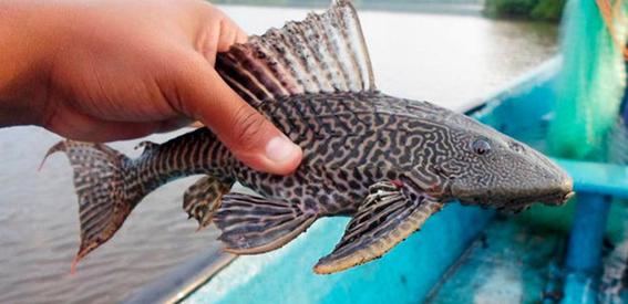 secaran la laguna del nainari por sobrepoblacion de pez diablo 2