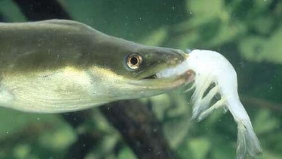 cocaina en rio tamesis causa que anguilas se vuelvan hiperactivas 2