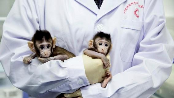 nacen cinco monos clonados y modificados geneticamente 2
