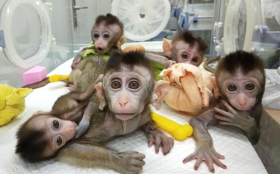 nacen cinco monos clonados y modificados geneticamente 1