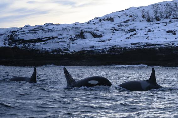 orcas migran hacia el norte para encontrar alimento 1