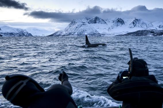 orcas migran hacia el norte para encontrar alimento 2