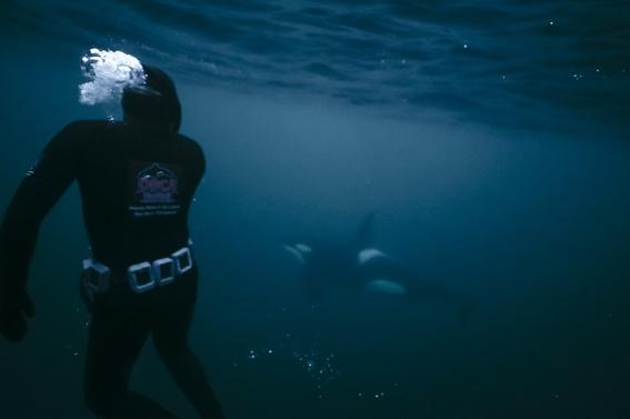 orcas migran hacia el norte para encontrar alimento 4