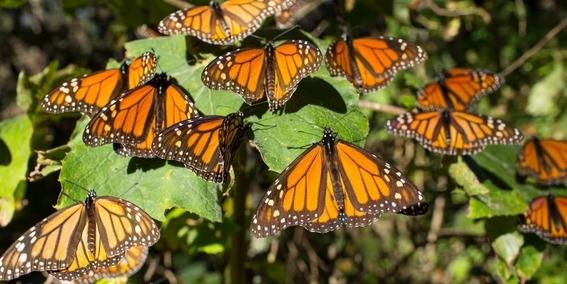 aumenta la cantidad de mariposas monarca que llegaron a mexico 2