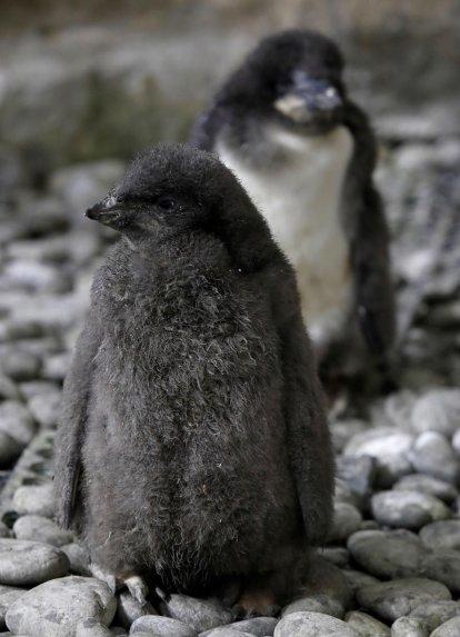 nacen dos pingüinos adelia en el zoologico de mexico 1