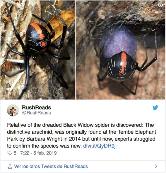 descubren especie mas grande de viuda negra de sudafrica 2