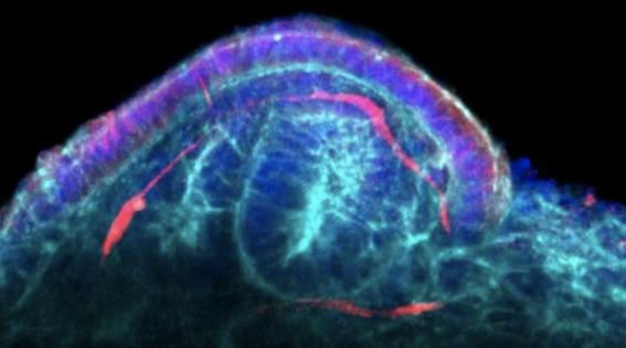 cientificoscreanminirrinonesapartirdecelulasmadre 2