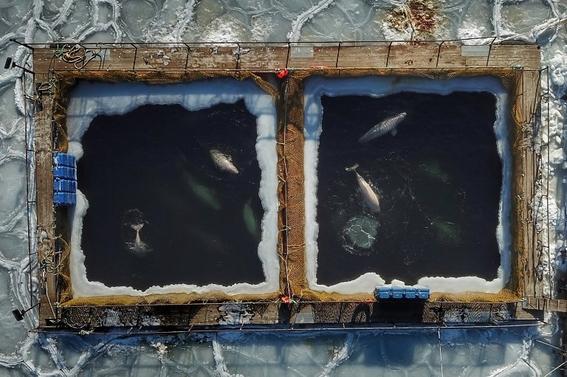 asi es la lucha para liberar orcas y ballenas en rusia 1