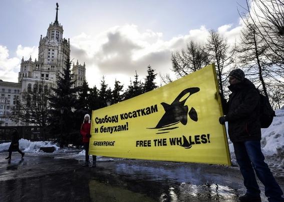 asi es la lucha para liberar orcas y ballenas en rusia 2