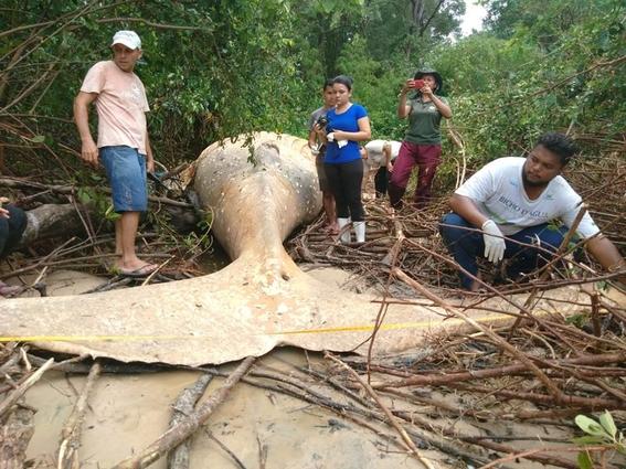 hallan ballena muerta en selva del amazonas 1