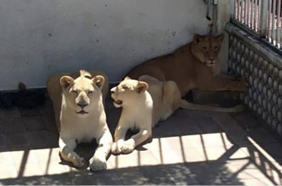 profepa asegura 3 leones en casa de cdmx 1