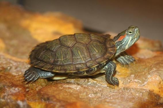 tortugas japonesas se vuelven plaga en mexico 2