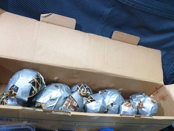 mas de mil 500 tortugas fueron encontradas amarradas en una maleta 1