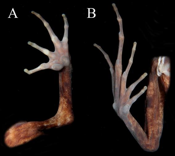 cabeza de rana rana con gran cabeza nueva rana nueva especie de rana descubren nueva especie de rana hallan nueva especie de rana con cabeza 1