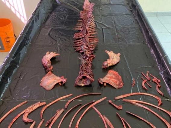 vaquita marina podria extinguirse este mismo ano alerta greenpeace 2