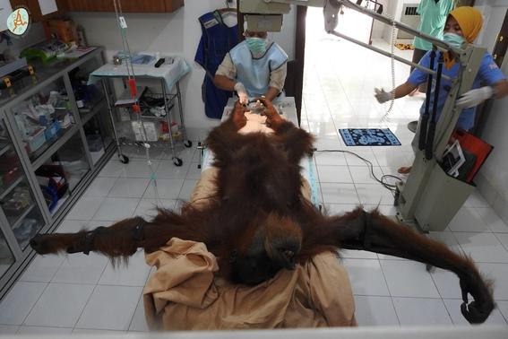 hope es una la orangutana que sobrevivio a 74 1