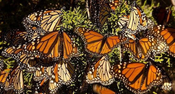mariposas monarca que llegan a mexico 1