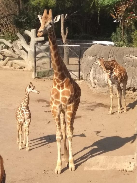 la nueva jirafa de chapultepec 2