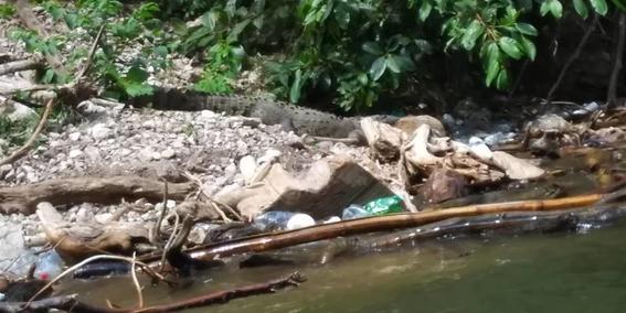 muere cocodrilo por ingerir plasticos en el canon del sumidero 1
