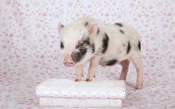 unam no te recomienda tener un mini pig como mascota 1