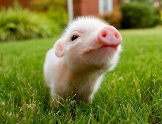 unam no te recomienda tener un mini pig como mascota 2