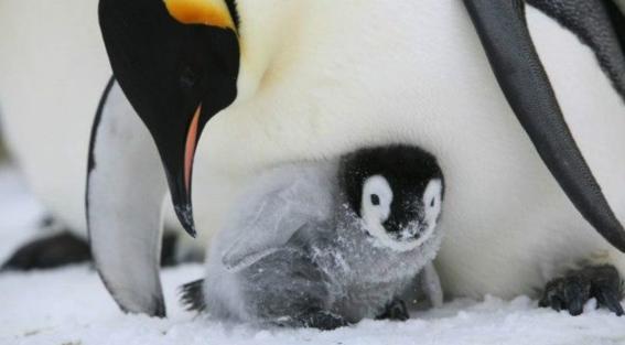 colonia de pingüinos emperador 1
