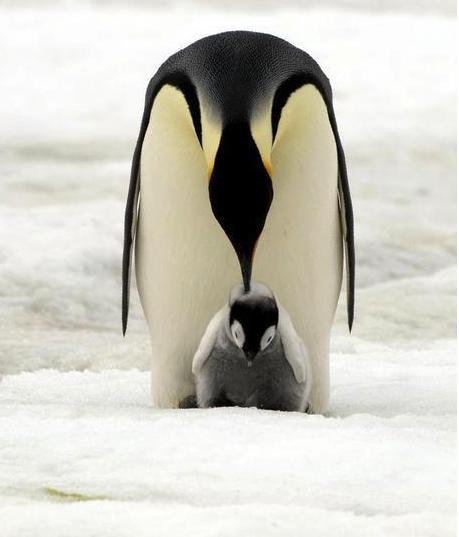 colonia de pingüinos emperador 2