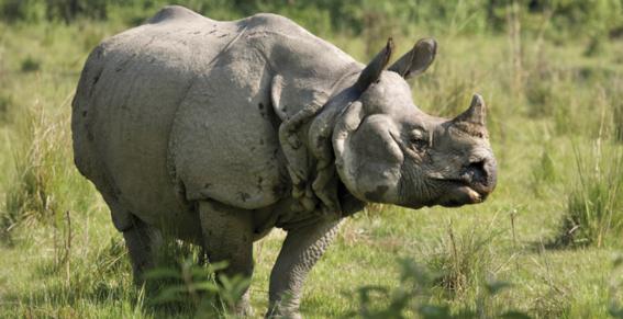 el rinoceronte fue concebido via in vitro pertenece a la especie conocida como indio que esta en peligro de extincion rinoceronte indio con in 2