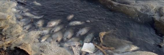 peces muertos en la presa san jose 1