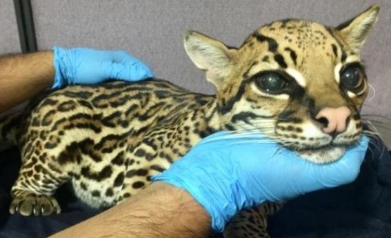 cortan colmillos a leopardo bebe para domesticarlo como gato 2