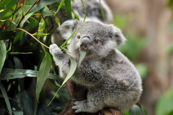 Los koalas son una especie