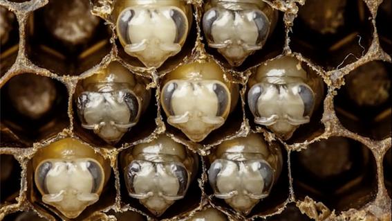 hay 2 mil especies de abejas en peligro de extincion en mexico 2