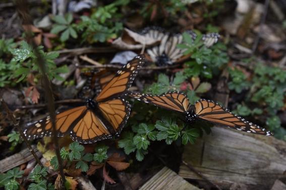 en riesgo las mariposas monarca por uso de herbicidas 1