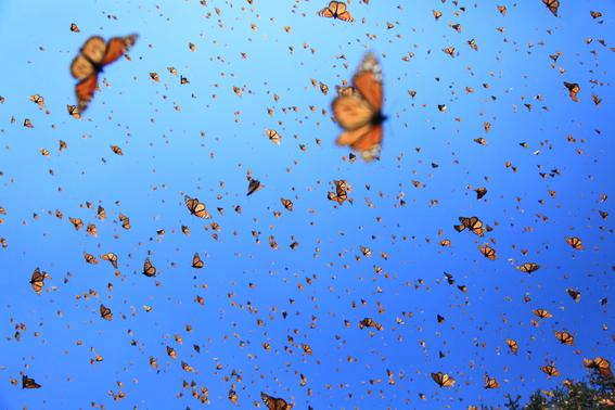 en riesgo las mariposas monarca por uso de herbicidas 2