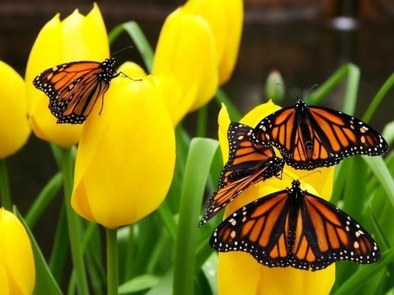 en riesgo las mariposas monarca por uso de herbicidas 3