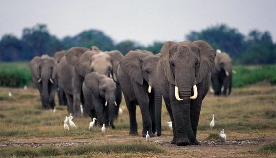 quitan la prohibicion de caza de elefantes en botswana 1