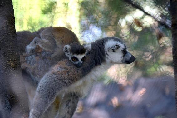 lemur de cola anillada 1