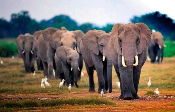 elefantesafricanosenpeligroapesardequehaymenoscaza 1