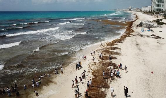 sargazo la plaga que amenaza con hacer del caribe mexicano un pantano pestilente 2