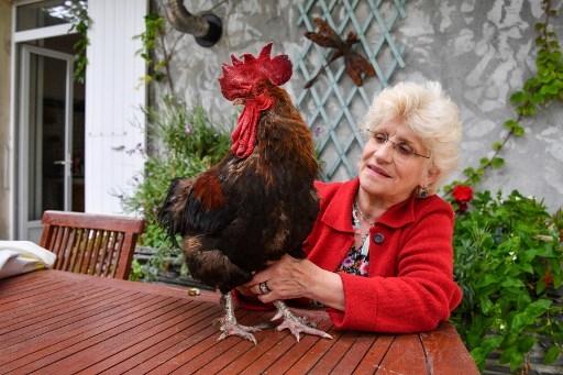 demanda a gallo por cantar demasiado temprano 2