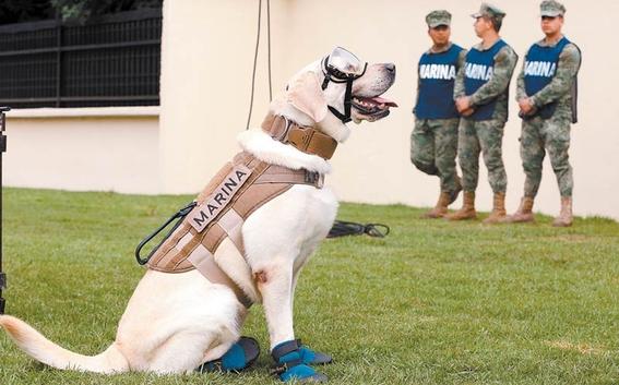 frida la extranable perrita que participo en el rescate de victimas del 19s de 2017 se jubilo en la unidad canina de la secretaria de marina 3